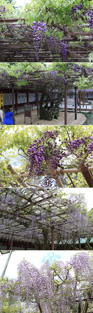 YaeWisteria of Kasamainari