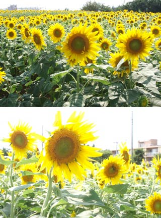Sunflower around Ashizawa park