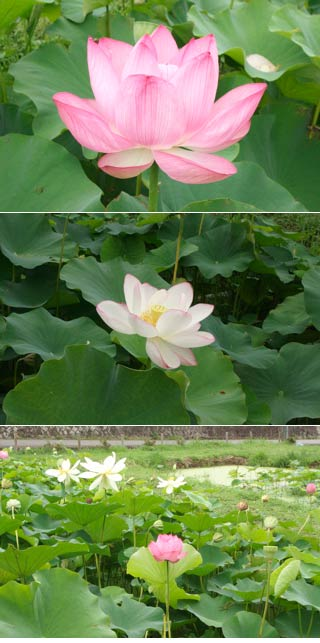 Nakai Lotus Pond