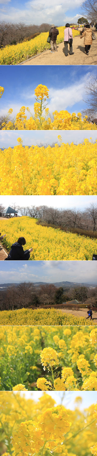 Rape Blossoms at Azumayama Park