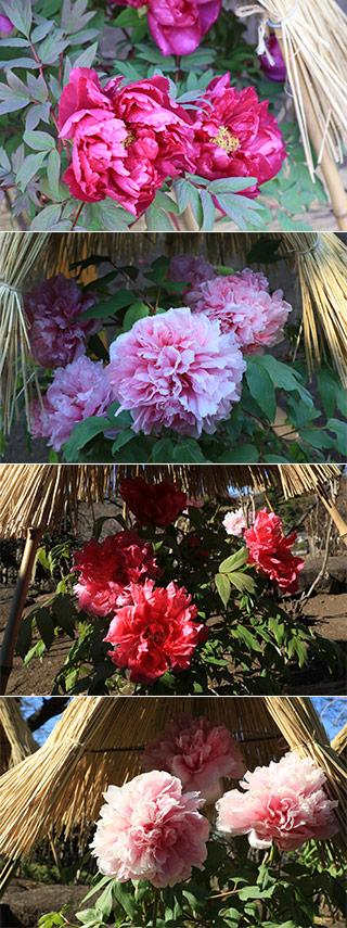 Sacred Peony Garden Mustlovejapan Video Travel Guide