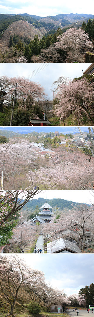 Cherry Blossom at Yoshino
