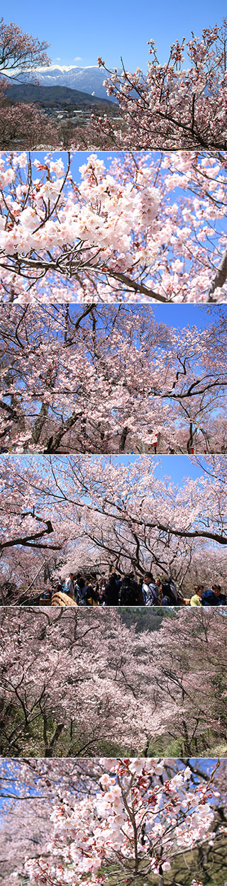 Sakura at Takato castle