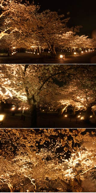 Night Hanami at Tsuruga Castle