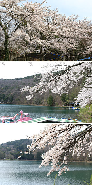 Sakura at Lake Shibire