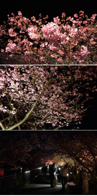 Kawazu Sakura at Night
