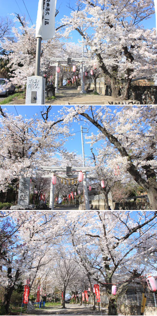 Sakura at Shiroyamainari