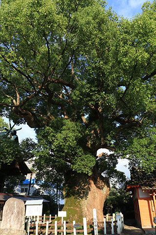 Camphor Tree of Yoka Shrine