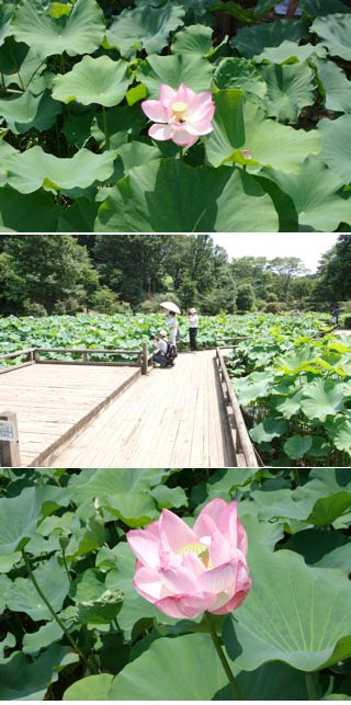 The lotus of Yakushi pond