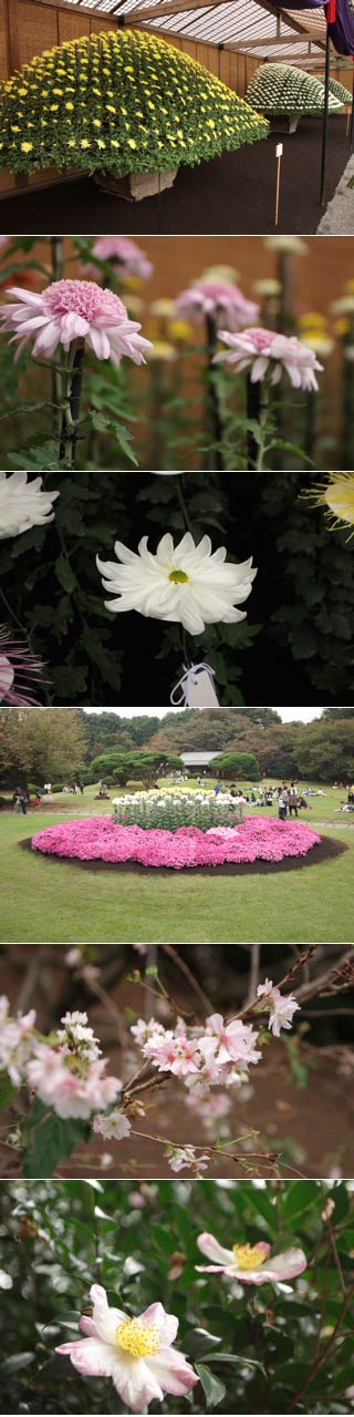 The garden of Imperial Kiku flower