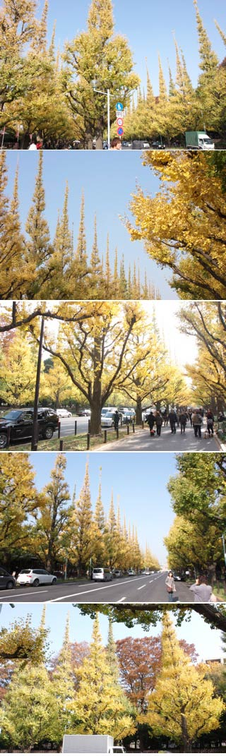 The Gingko Avenue of Jingugaien
