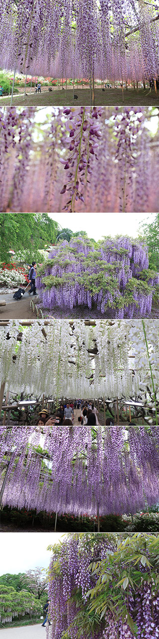 Wisteria at Ashikaga Flower Park