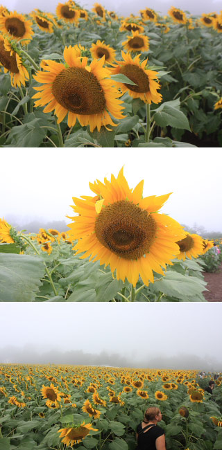 Akeno Sunflower Farm