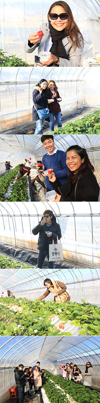 Shimizu Farm Strawberry Picking