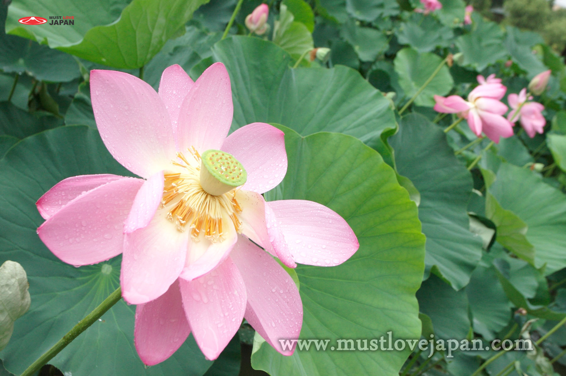 Lotus In Kanto Mustlovejapan Video Travel Guide